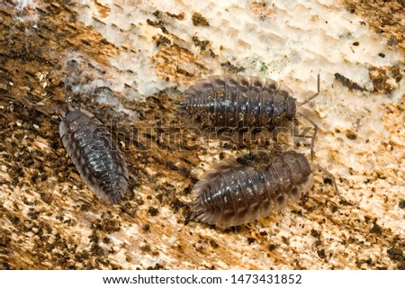 common rough woodlouse a crustacean #1473431852