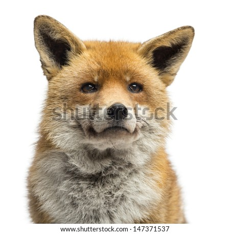 Close-up of a Red fox, Vulpes vulpes, isolated on white #147371537