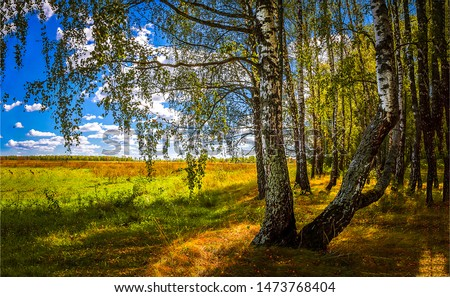 August autumn forest birch trees view. Autumn birch forest trees. Autumn birch forest view. Autumn birch forrest scene #1473768404