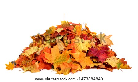 Pile of autumn colored leaves isolated on white background.A heap of different maple dry leaf .Red and colorful foliage colors in the fall season  Royalty-Free Stock Photo #1473884840