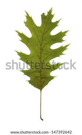 Green leaf of The Northern Red Oak (Quercus rubra) as an spring symbol, and as a seasonal themed concept isolated on a white background #147392642