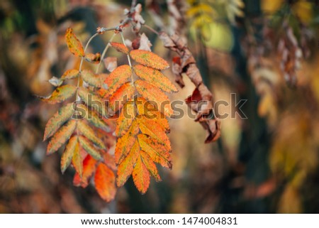 Wild rowan branch in autumn forest on bokeh background in sunset. Orange fall leaf in sunrise close-up. Autumn woodland backdrop with colorful rich flora in sunlight. Yellow rowan leaves in backlight. #1474004831