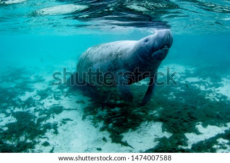 Beautiful manatee taking a breath in the warm water of Three Sisters Spring, Crystal River, Florida.