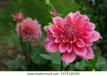The picture of the pink dahlia flowers, surrounded with fresh and green morning atmosphere in the beautiful botanical garden in the northern of Thailand