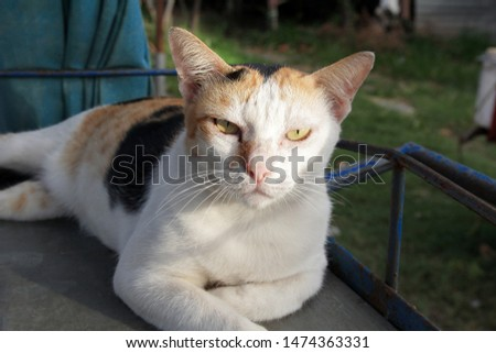 Hi-Resolution close up portrait picture of Siamese animal. The three colors cat is white, black and orange, lying on the wheelbarrow at the market, looked angry when human come close.