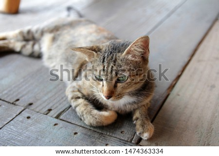 Hi-Resolution close up portrait picture of Siamese animal. The mackerel tabby cat in brown, black and white colors, lying-in a relax motion on the wooden floor, feeling annoyed when human come close.