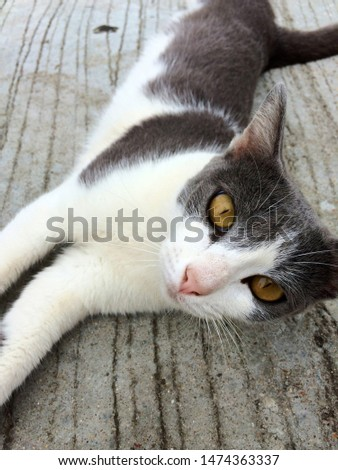 Hi-Resolution close up portrait picture of Siamese animal. The two-tone cat is white and dark grey, lying on the concrete floor, stretching and relaxing, have a smiley face to human.