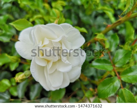 White rose blooming in the garden with green background. #1474371632
