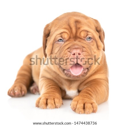 Portrait of a Bordeaux puppy lying in front view with open mouth. isolated on white background #1474438736