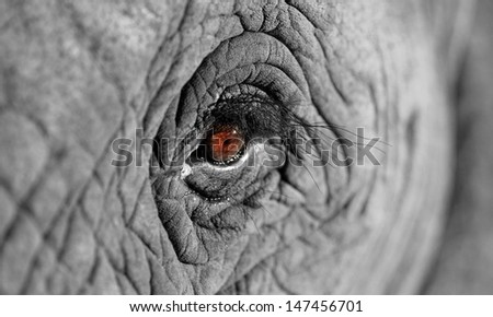 A unique look into the eye of one of the worlds most loved animals,the African elephant. I did a focal black and white conversion to enhance the effect. Taken in South Africa.