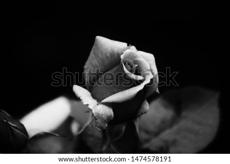 A Lonely Rose in a South Dakota Garden #1474578191