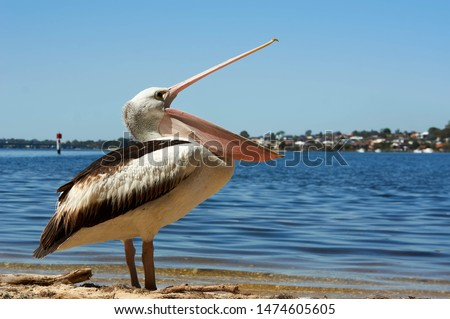 Pelican opening mouth to eat something or yawning   Royalty-Free Stock Photo #1474605605