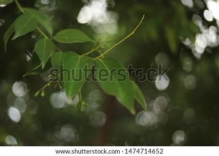 Cinnamomum burmannii (Indonesian cinnamon, Padang cassia, Batavia cassia) #1474714652