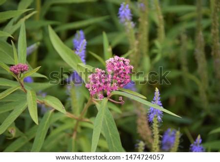 Blue Prairie Blazing-Star wildflowers in summer #1474724057