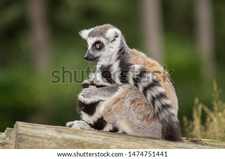 Ring-tailed lemur on a piece of wood looking alertly downwards while holding his furry tail #1474751441