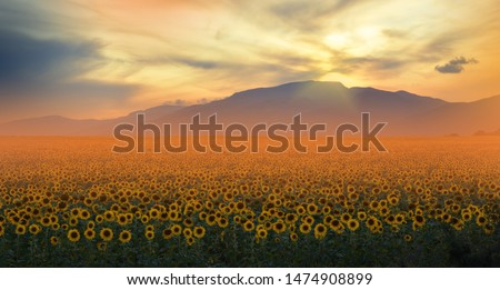 Sunflower field at sunset.Orange Nature Background.Creative Artistic Wallpaper.Floral Art Photography.Agricultural Greeting card,argiculture concept.Field of blooming sunflowers on a background sunset
