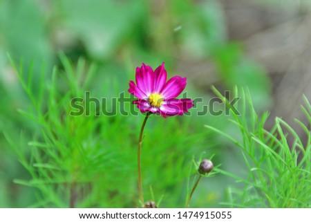 Beautiful and delicate Cosmos bipinnatus flower in the garden #1474915055