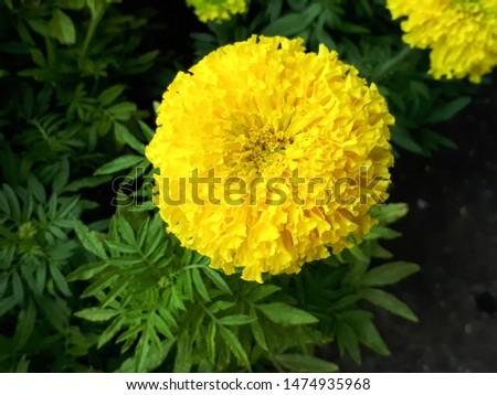 Marigold,yellow flower,marigold tree,orange marigold,flowers,marigold petals #1474935968