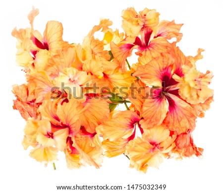 Close up Hibiscus Flower in soft focus. Coral orange Hibiscus Flower, Hibiscus flower on white background. Bokeh #1475032349