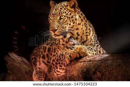 Leopard resting on a tree black background