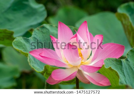 Beautiful pink lotus flower with green leaves. #1475127572