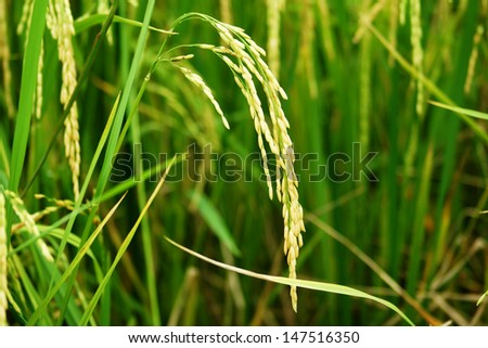 Rice in paddy field #147516350