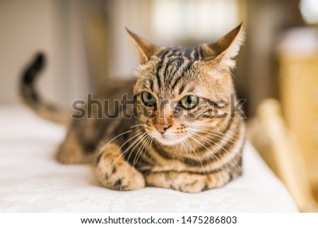 Beautiful short hair cat lying on the bed at home #1475286803