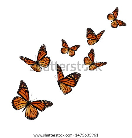 Beautiful monarch butterfly isolated on white background. #1475635961