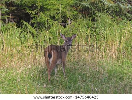 Sitka Black-tailed Deer (odocoileus hemionus sitkensis) #1475648423