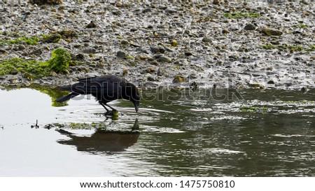 Carrion Crow Corvus Corone Reflected Beiramar O Seixo Mugardos Galicia Spain #1475750810