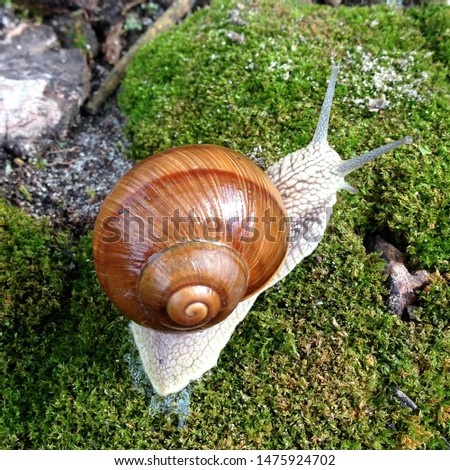 Macro photo nature mollusk snail Helix pomatia. Snail in spiral shell. Snail on the background of moss.
