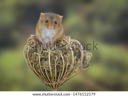 Cute picture of a harvest mouse posing for the camera