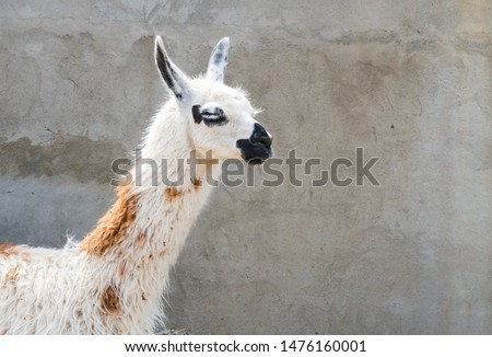 shaggy head of a lama pet in profile, close-up on a wall background #1476160001