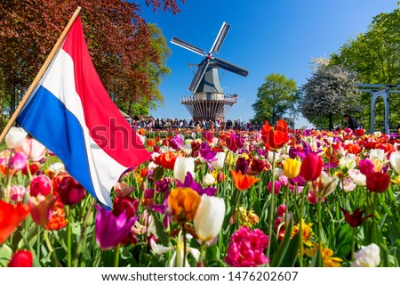Blooming colorful tulips flowerbed in public flower garden with windmill and waving netherlands flag on the foreground. Popular tourist site. Lisse, Holland, Netherlands. #1476202607