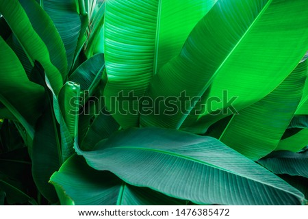 tropical banana leaf texture in garden, abstract green leaf, large palm foliage nature dark green background #1476385472