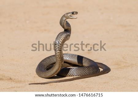 Eastern Brown Snake in striking pose Royalty-Free Stock Photo #1476616715