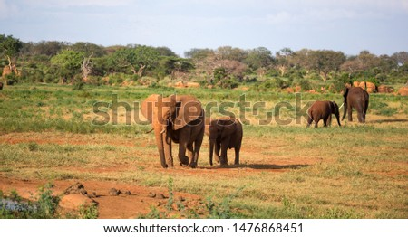 The large family of red elephants on their way through the Kenyan savanna #1476868451