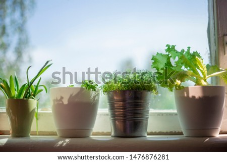 aloe leaves in green mug, lettuce in white pot, dill sprouts in aluminum pot on windowsill, celery sprouts in white pot. Close-up, shallow depth of field #1476876281