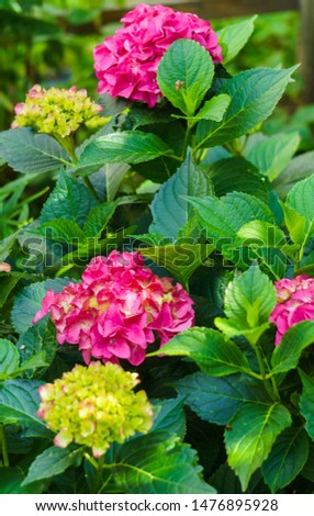 Inflorescence of bright pink hydrangea flowers in the garden #1476895928