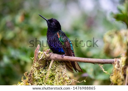Hummingbird found in the Andes Highlands. Photo taken at Mashpi Lodge, Ecuador.