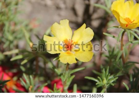 yellow flower, yellow rose , yellow, flower #1477160396