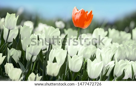 Red tulip flower bloom on background of blurry white tulips in tulips garden.