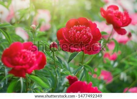 Red Peony flower blooming on blurry peonies background in peonies garden.