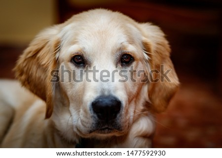 Nice specimen of dog of the race Golden Retriever #1477592930