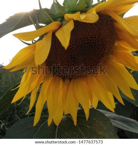 Macro photo sunflower. Nature plant Image yellow sunflowers Helianthus annuus field