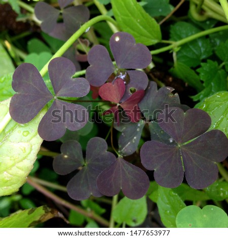Macro Photo of a lucky plant clover. Flower plant clover with violet petals. Clover bouquet grows in the ground against the background of green leaves and plants #1477653977