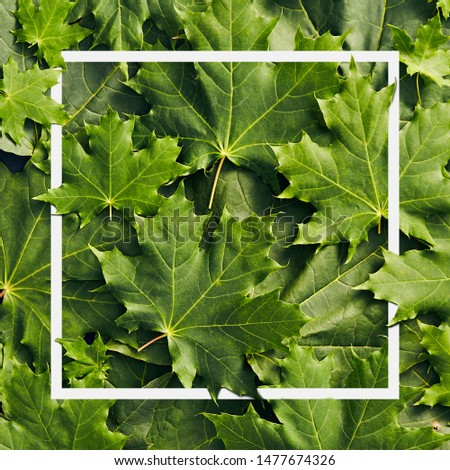 Green Leaves Background - Maple Tree Leaves with white frame close up. Canada Maple Leaves Top View. Nature Flat Lay #1477674326
