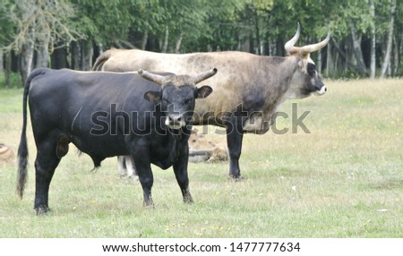 The aurochs (Bos primigenius).The ultimate goal of the Tauros Program is but above all to return it to European nature,  Lake Pape, Latvia Royalty-Free Stock Photo #1477777634