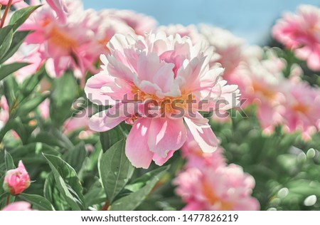 Peonies flower bloom on background of blurry peonies flower in peonies garden.
