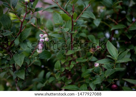 Blueberry berry on a bush with a blurred background #1477927088